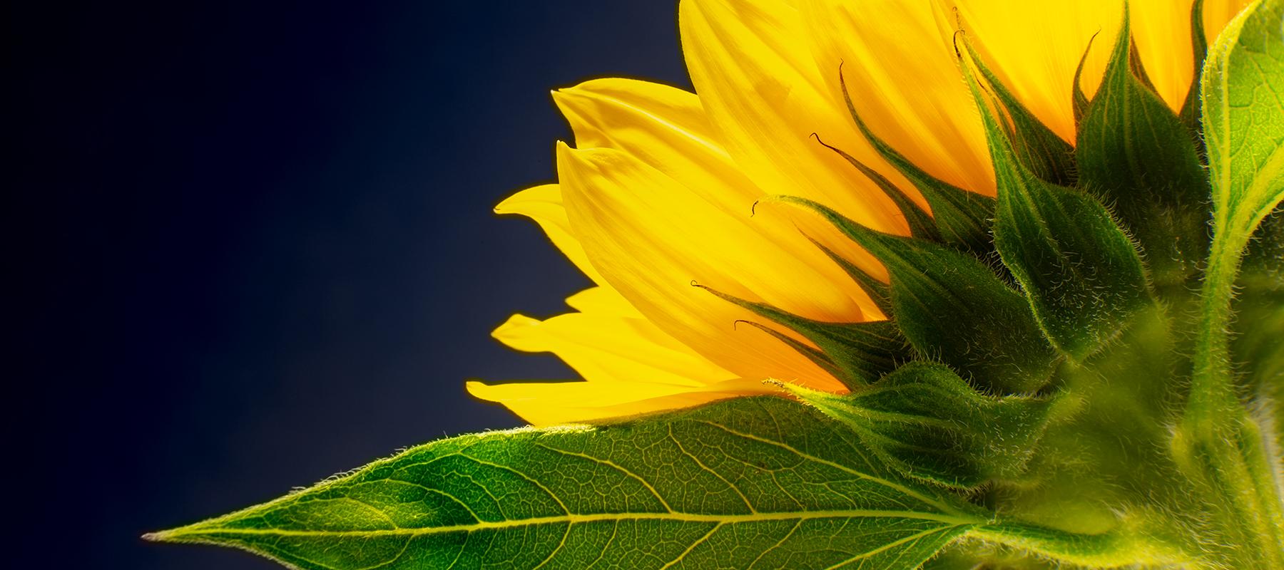 Sunflower Detail, Cambridge - Russ Gostelow Photography